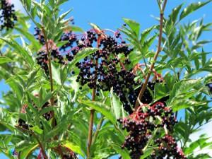 sureau noir biologique antioxydant naturel puissant