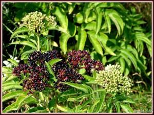 Botanique histoire du sureau noir