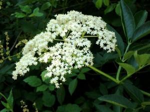Fleurs de sureau noir biologique