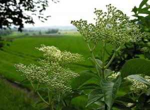 Sureau noir bio la plante aux milles usages
