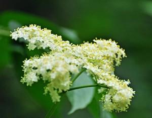 Fleurs de sureau bio aux vertus curatives