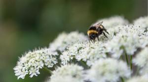 Fleur de sureau noir antioxydant naturel puissant